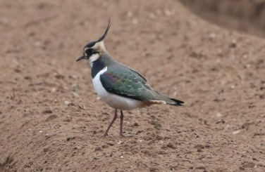 Lapwing, Cockley Cley 2nd February