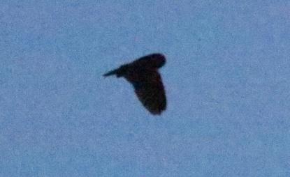 Long-eared Owl 10th February