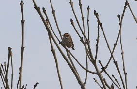 Little Bunting Weybourne Camp 16th February