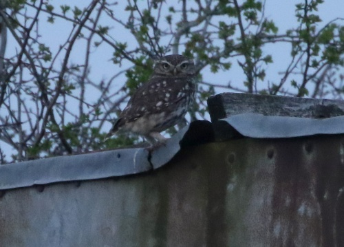Little Owl, Cockley Cley 30th March
