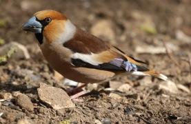 Hawfinch, Lynford 29th March