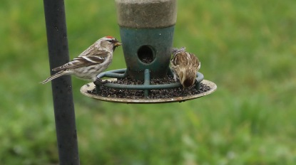 Mealy Redpoll, Cockley Cley 15th March