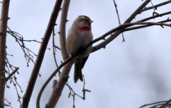 Mealy Redpoll, Wells, 26th January