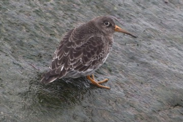 Purple Sandpiper, Sheringham. 27th January