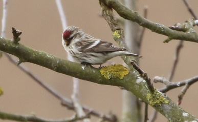 Mealy Redpoll, Cockley Cley 14th March