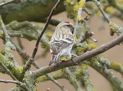 Coues's Arctic Redpoll, Cockley Cley 15th March