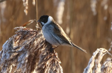 Reed Bunting, Titchwell 20th January