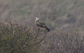 Rough-legged Buzzard, Choseley, 26th January