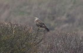 Rough-legged Buzzard, Choseley, 26th January