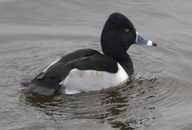 Ring-necked Duck, Welney 5th January