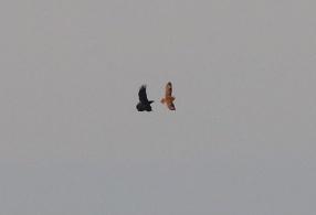 Short-eared Owl, Warham 20th January