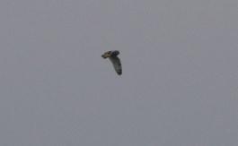 Short-eared Owl, Welney, 6th January