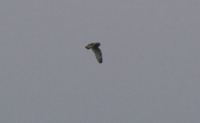 Short-eared Owl, Welney, 6th January
