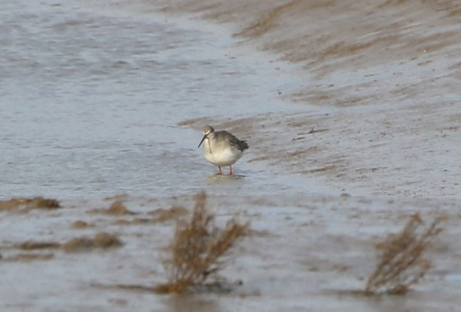 Spotted Redshank, Thornham Harbour. 26th January