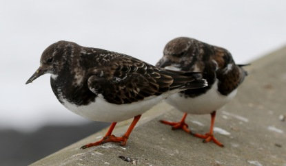 Turnstone, Sheringham. 27th January