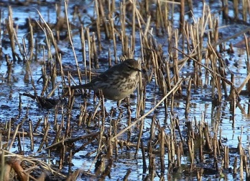 Water Pipit, Titchwell 1st January