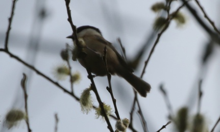 Willow Tit, 28th March