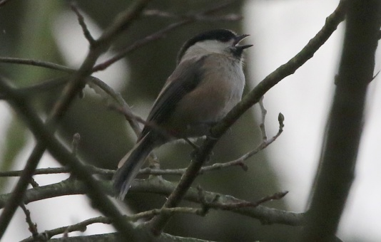 Willow Tit, 2nd February