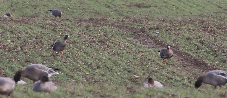 White-fronted Goose, Burnham Overy, 27th January