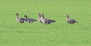 White-fronted Goose, Wissington 19th January