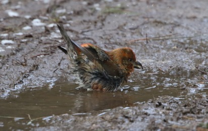 Crossbill, Swaffham Forest 2nd February