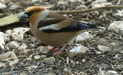 Hawfinch, 21st April