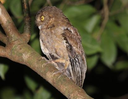 Andaman Scops Owl