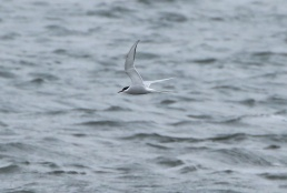 Arctic Tern, Pentney 27th April