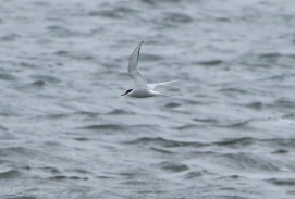 Arctic Tern, Pentney 27th April