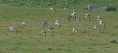 Ruff and Bar-tailed Godwits, Cley