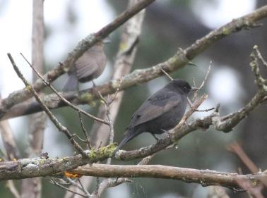 Blackbirds, East Hills, 5th November