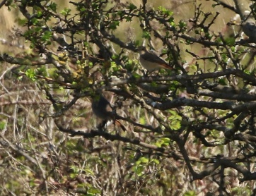 Common and Black Redstart, Holme,19th April