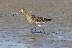 Black-tailed Godwit, Cley