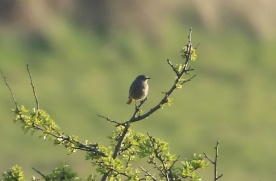 Black Redstart, Burnham Overy Dunes, 19th April