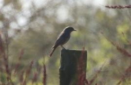 Black Redstart, Holme,19th April
