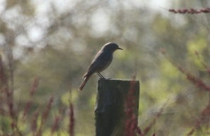 Black Redstart, Holme,19th April