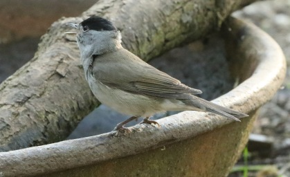 Blackcap, 21st April