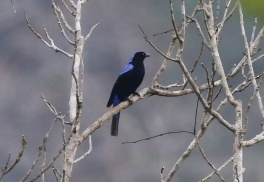 Asian Fairy Bluebird