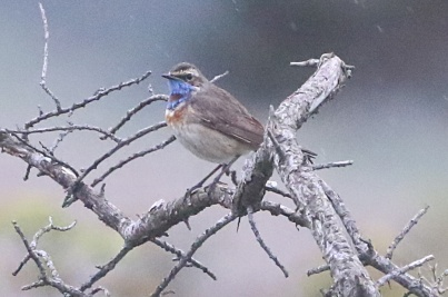 Bluethroat Weybourne 19th May