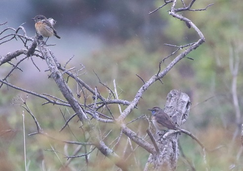 Bluethroat and Stonechat, Weybourne 19th May