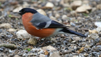 Bullfinch, 6th May
