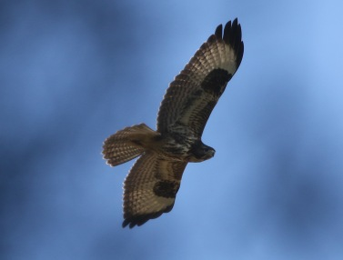 Buzzard, East Hills, 8th September