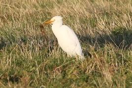 Cattle Egret, Burnham Overy Dunes, 20th September