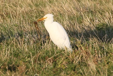 Cattle Egret, Burnham Overy Dunes, 20th September