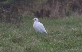 Cattle Egret, Burnham Overy Dunes