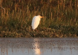 Cattle Egret, Burnham Overy Dunes, 14th September