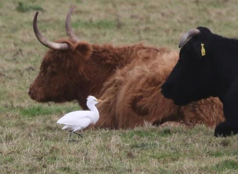 Cattle Egret, Wormegay, 8th November