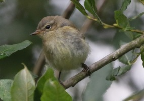 Chiffchaff, Cockley Cley, 11th August