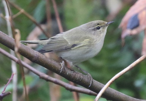 Scandinavian Chiffchaff, East Hills, 5th November
