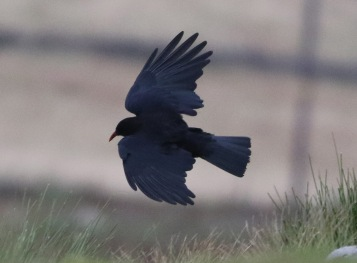 Chough, Windgather Rocks, Cheshire, 10th August